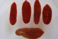 Adult individuals of giant liver fluke, Fascioloides magna
